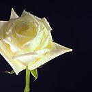 Rose Bloom by Glenn Cecero