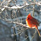 Cardinal on a Branch by bannercgtl10