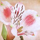 Blushing Alstroemeria by IngeHG