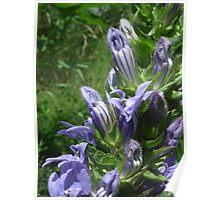Purple-Blue Wildflower in Iowa Ditch Poster