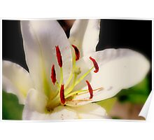 Wedding White Lily Poster