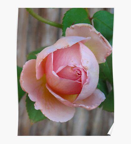 pink bud at dawn Poster