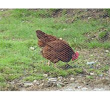 The Hen behind the Wire!!! Photographic Print