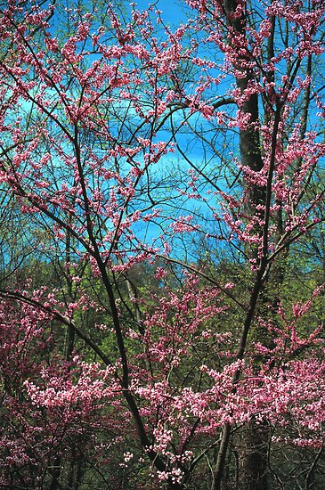 REDBUD TREE by Chuck Wickham