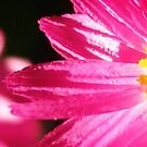 Pink paper daisy by David Rozario