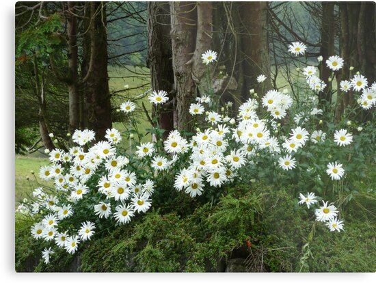 Sheltering daisies. by Fara