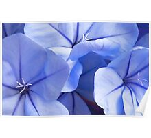 Plumbago's Beautiful Blues Poster