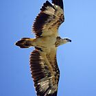 Juvenile White-bellied Sea Eagle by Tanya Rossi