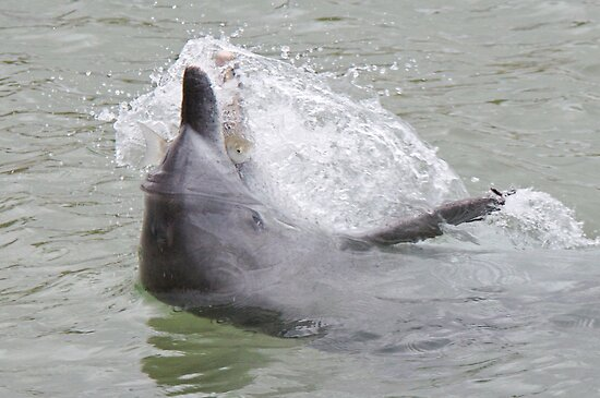 Wild Feeding dolphin by Graham  Nixon