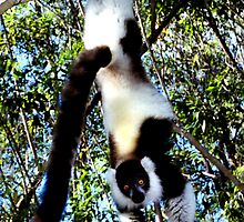 Back & White Ruffed Lemur Just Hanging Around #2, Madagascar  by Carole-Anne