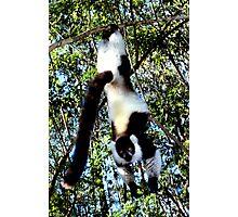 Back & White Ruffed Lemur Just Hanging Around #2, Madagascar  Photographic Print