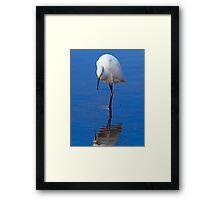 Snowy Egret (Egretta thula) Framed Print