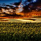 Sunflower Field by LudaNayvelt