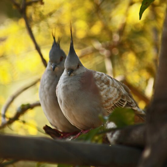 Topknot Pigeon Pair by Sea-Change