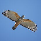 Pacific Baza - Crested Hawk by Tanya Rossi