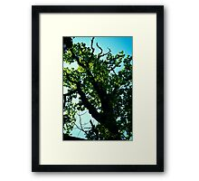 Oak Tree up in Toompea. Tallinn. Framed Print