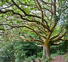 Wild Oak at Portmeirion by Mark Zytynski