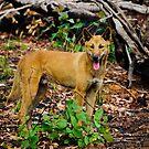 Australian Dingo by Jan Fijolek