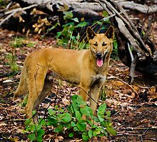 Australian Dingo by Jan Fijolek