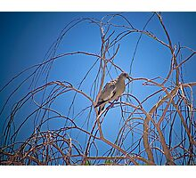 A Lonely Dove Photographic Print