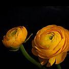 Ranunculus by Aase