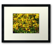Wild Sunshine (Common Ragwort, Senecioneae Jacobaea) Framed Print