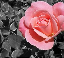 PINK  by G.T.S Photos