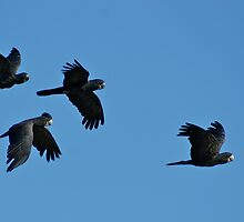 Flying Home: Red Tailed Black Cockatoos by bobbim