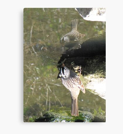 White-crowned Sparrow ~ Topsy Turvy! Canvas Print