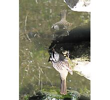 White-crowned Sparrow ~ Topsy Turvy! Photographic Print