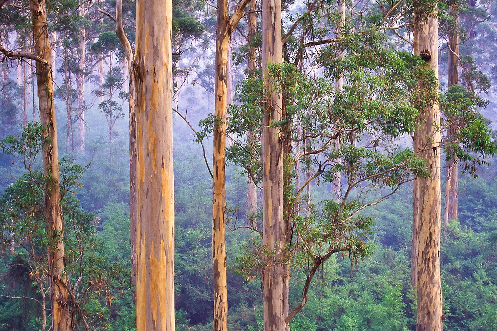 Misty Morning in the Karri Forest by Dieter Tracey