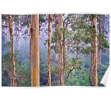 Misty Morning in the Karri Forest Poster