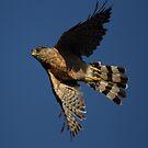 Sharp Skinned Hawk Turns In Flight by DARRIN ALDRIDGE