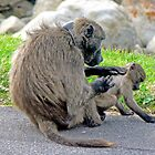 Baboon Grooming by Graeme  Hyde