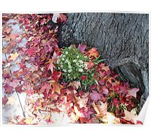 White Flowers on Maple Tree Poster