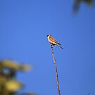 Kestrel Falcon On A Limb by DARRIN ALDRIDGE