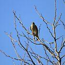 Kestrel Falcon With A Meal by DARRIN ALDRIDGE