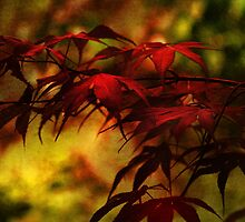 Acer in the Evening Light by hampshirelady