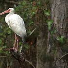 Ibis in the Woods by TJ Baccari Photography