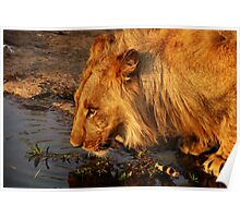 Lion's Pride Poster
