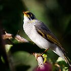 Noisy Miner!  by Anna Ryan