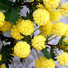 Acacia - Kalamunda, Western Australia by Akrotiri