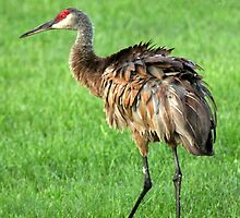 Adult Sandhill Crane by Renee Blake