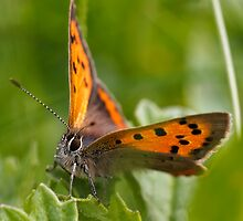 Small Copper - Large #2 by chemival