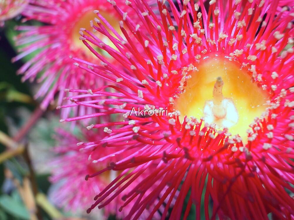 Red Flowering Gum - Western Australia by Akrotiri