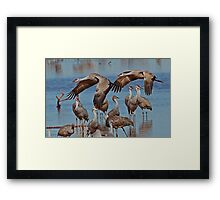 Sandhill Cranes at Whitewater Draw Framed Print