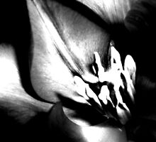 BW Tulip #5 by Amy Bettison