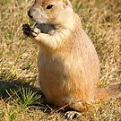 Dinner time for a Prairie Dog by Alex Cassels