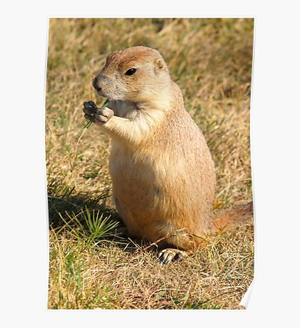 Dinner time for a Prairie Dog Poster
