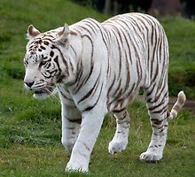 Cool White Tiger by wwwildlife